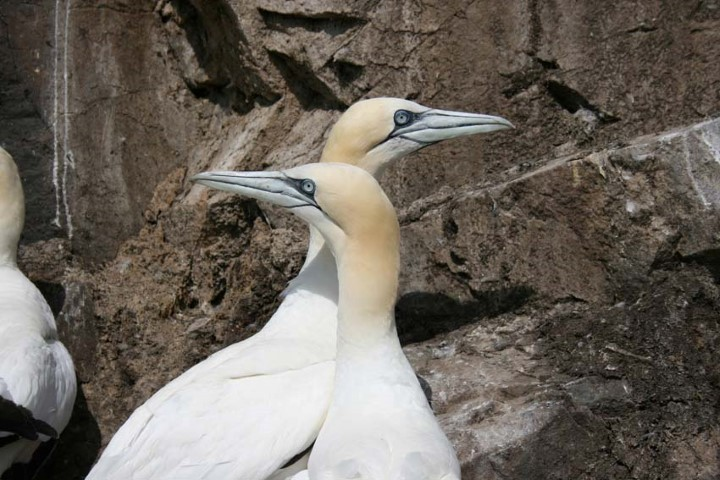 Pair of gannets