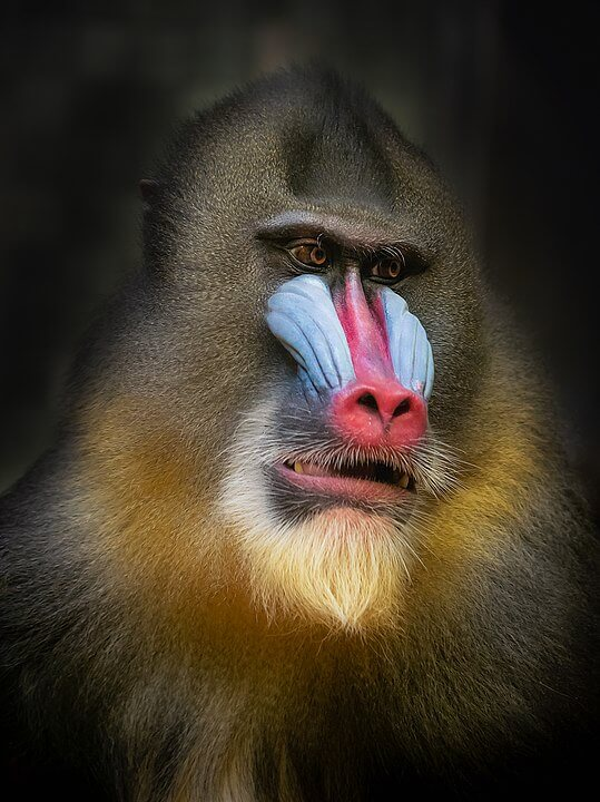 Mandrill taken by William Warby at the Berlin Zoo license Creative Commons Attribution Generic