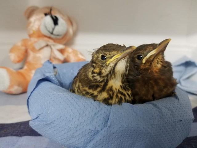 Young Thrush and Blackbird in WRASs orphan room