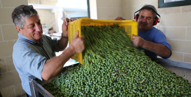 MalDia Olive oil entrepreneur Sam Cremona preparing for pressing