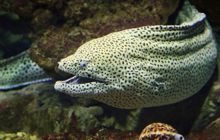 MalDia The dreaded Moray Eel one of the hazards with sharp biting posionous fangs