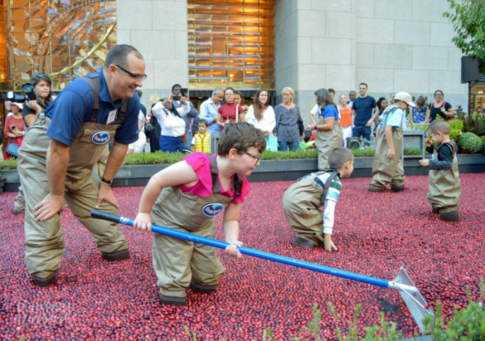 Miss P raking cranberries in the cranberry bog at the Ocean Spray #CranberryClassroom-1