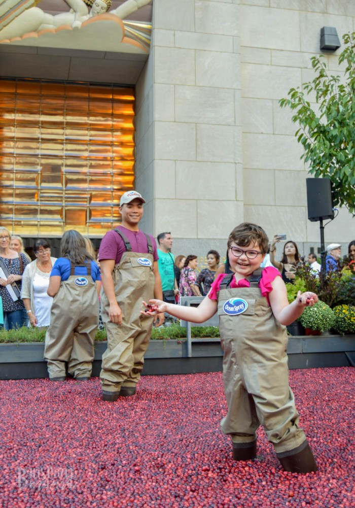 Priscilla got to get right in the cranberry bog at the Ocean Spray #CranberryClassroom in NYC