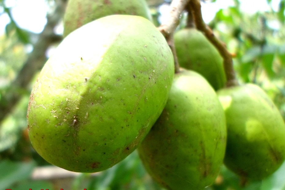 manfaat buah kedondong