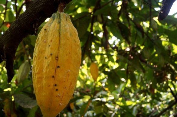 jenis dan manfaat buah kakao atau coklat