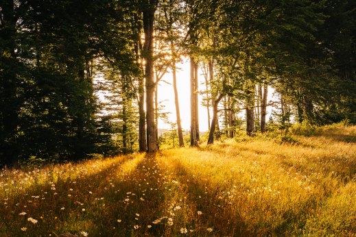 Im Vordergrund eine Wiese in gelb-goldenen Tönen. Im Hintergrund eine Baumreihe, die mittig die Sonne durchscheinen lässt.
