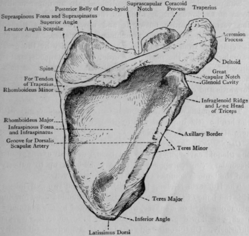 Right scapula back view.