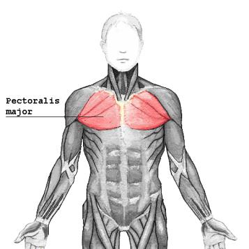 Pectoralis major 2