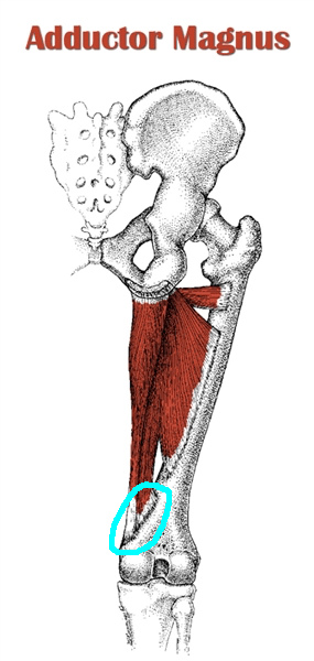 adductor magnus with hamstring type circle