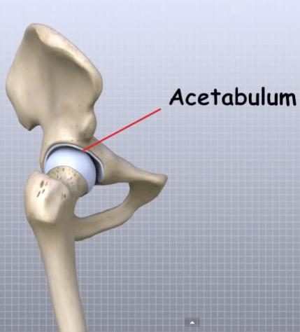 Acetabulum anatomy