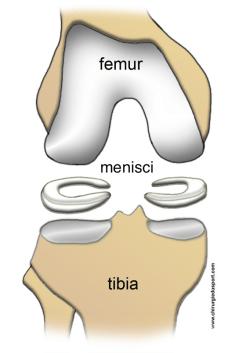 femur tibia meniscus
