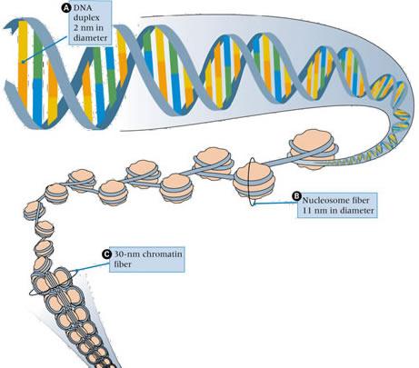 dna to nucleosome to chromatin