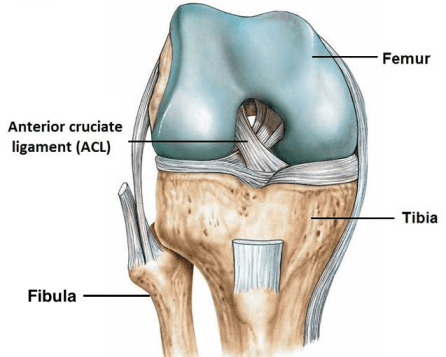 ACL anatomy with fibula