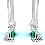 first-metatarsal-anterior-view