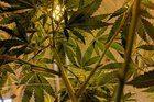 Finally, Marijuana-PTSD study reaches target enrollment of 76 veterans