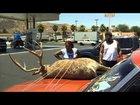 Deer on the hood prank