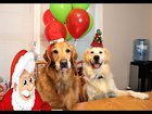 Funny /Prank!!! St. Nick Surprises Puppy Dogs With Balloons!
