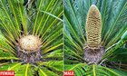 Rare primitive plant has produced male and female cones 'for the first time in 60MILLION years' | Eco Planet News
