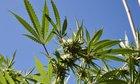 Majority Of Republicans Support Marijuana Legalization Bill That Democrats In Congress Delayed Vote On