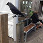 Crow hopped as I took his photo.