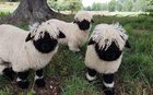 """Making its breed world debut in New Zealand, dubbed """"The Worlds Cutest Sheep"""""""