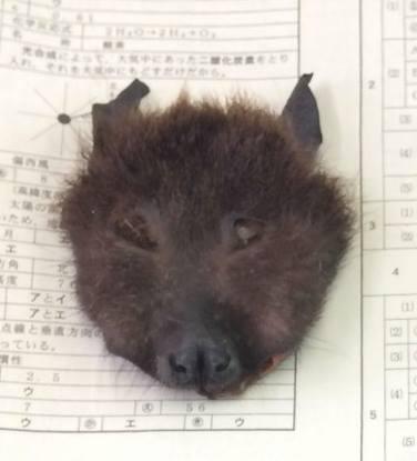 オオコウモリ顔
