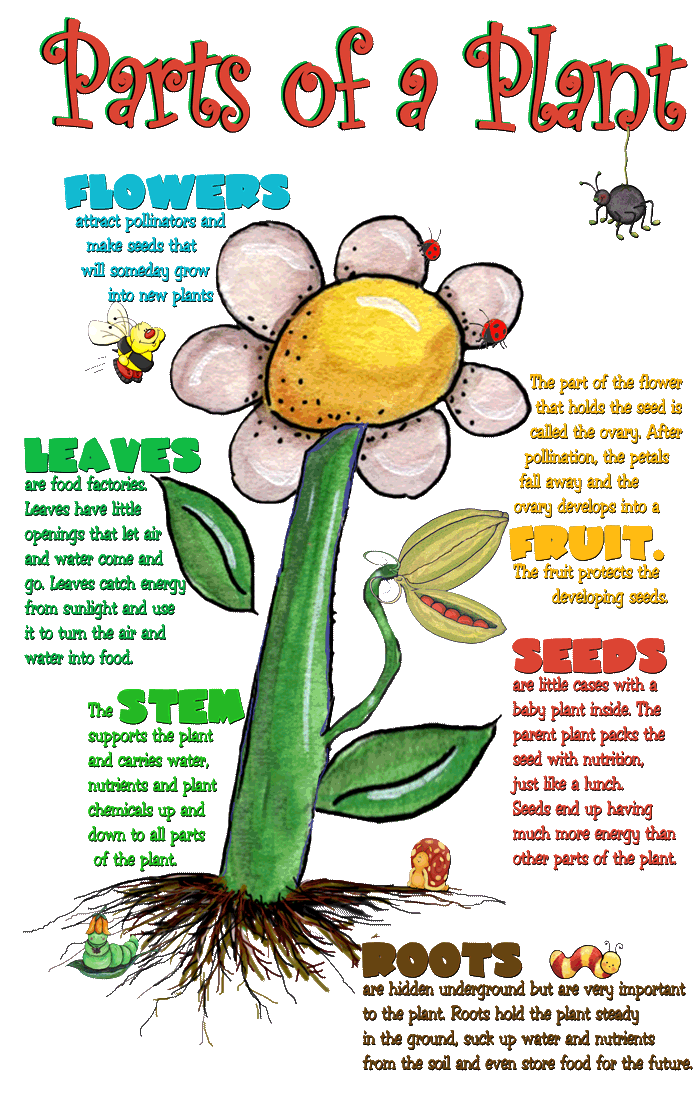 Draw Picture Edible Flower 4 Plants Root Leaves Seed Stems And Parts Fruit