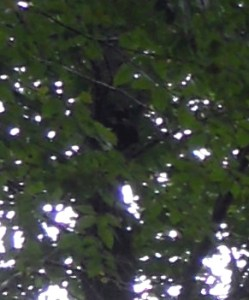 Barely visible bear cub in tree