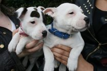 The two youngest visitors to receive a chip today were Tyson and Cookie, 8 week old brother and sister. The two adorable Staffordshire Bull Terriers were brought to the event by owner Lizzie McCloughlin of Northfield. | Image by Liz Newton www.visitnorthfield.co.uk