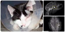 Chester & the pellet still lodged in his head. Click for larger