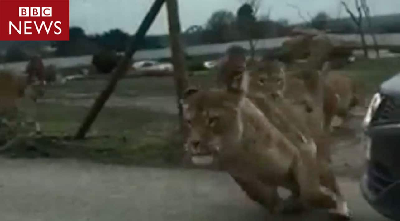 Terrifying footage shows lions attacking visitors vehicle in safari park