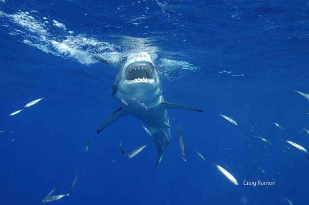 great white shark, National Wildlife Photo Contest, NWF, Federation