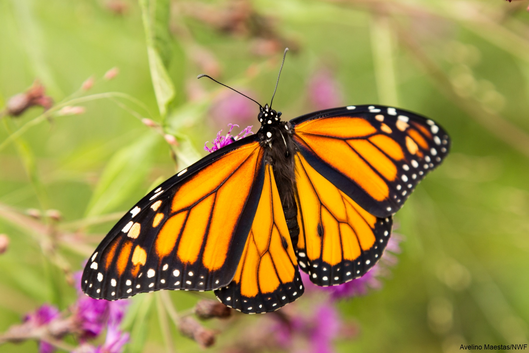 Teaching Science With Lynda Monarch Butterflies And