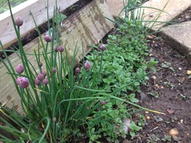 Chives ready to burst on the Raíces MicroFarm.