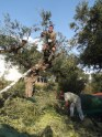 Dvd chopping the olive branches and dropping them onto nets.