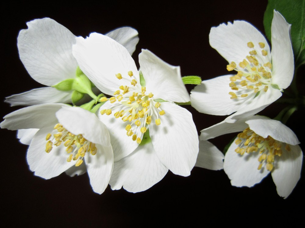 Jasmine Flowers are banned in China