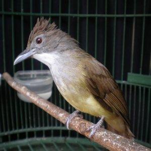 Cara Jitu Agar Burung Cucak Jenggot Rajin Gacor
