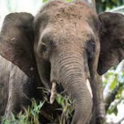 Foraging Elephant Strikes Fear Into Orang Asli Villagers
