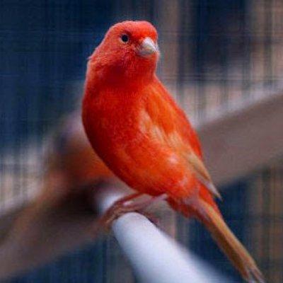 Gambar Burung Kenari Merah