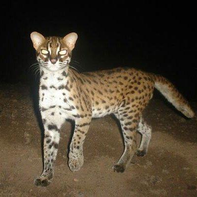 Info Mengenai Kucing Hutan Malaysia