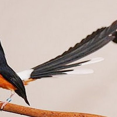 Keistimewaan Dan Karakter Burung Murai Batu