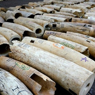 Singapore Crushes Massive Ivory Haul On Eve Of World Elephant Day
