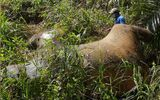 2 Elephants Found Dead Near Sabah S Forest Reserve