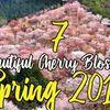 7 Beautiful Cherry Blossom Spots Spring 2019