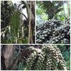 Gula Kabung Kuala Lipis Pahang