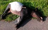 Male Tapir Run Over By Van In Johor