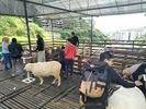 Melayan Kambing Biri Biri Di The Sheep Sanctuary Kea Farm Cameron Highlands