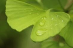Ginko rain....