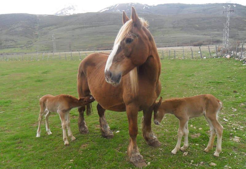 Yegua Careta y sus potros gemelos en Babia