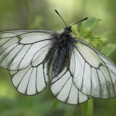 kokie yra drugelio sparnai ant varpos)